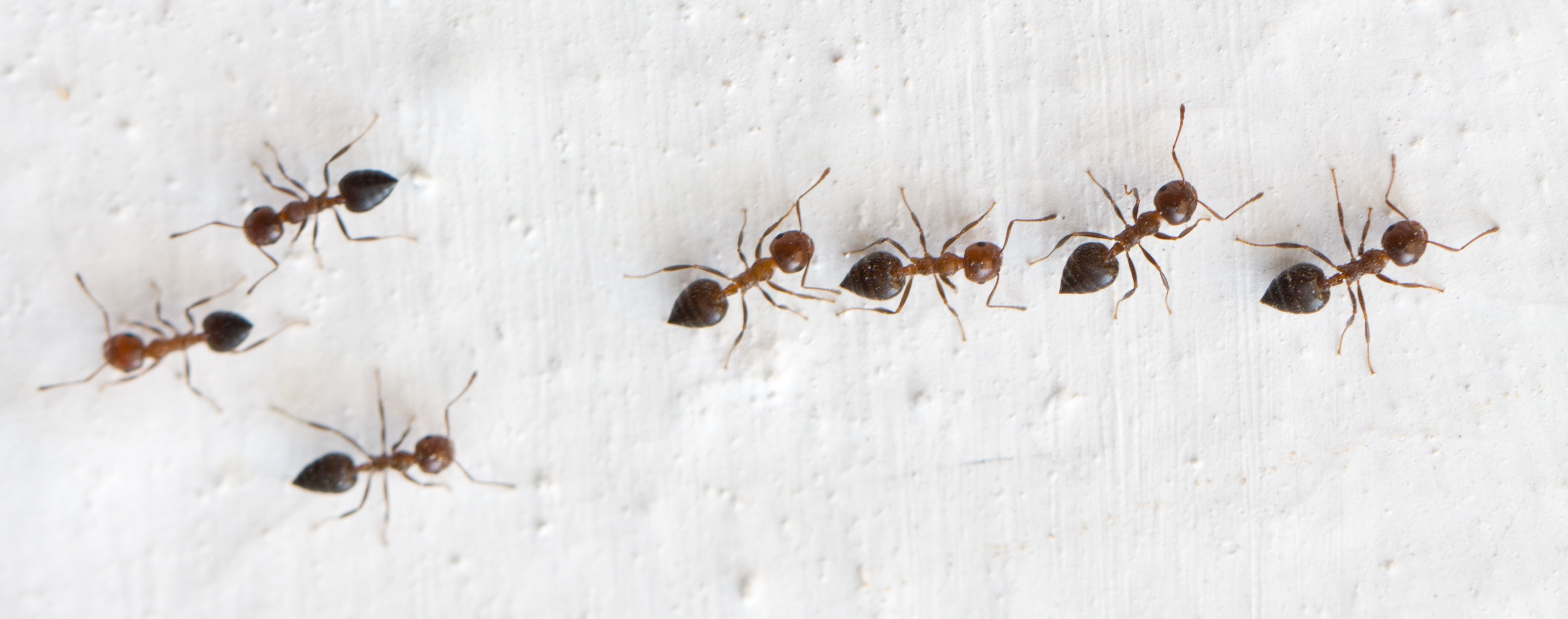 ants - licensed